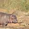 Bebê hipopótamo ataca crocodilo e enfrenta búfalo