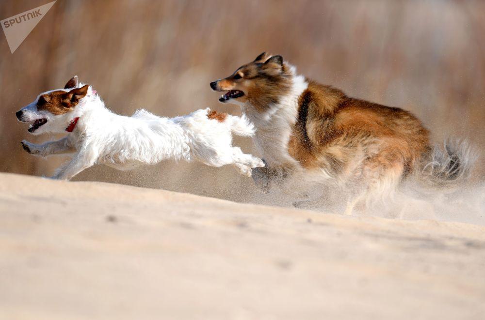 Cachorros correm durante sessão de treino de cães em Kazan, Rússia