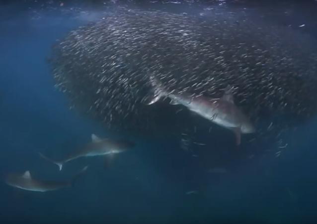 Tubarões caçando em águas australianas