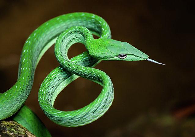 Cobra-verde-da-videira