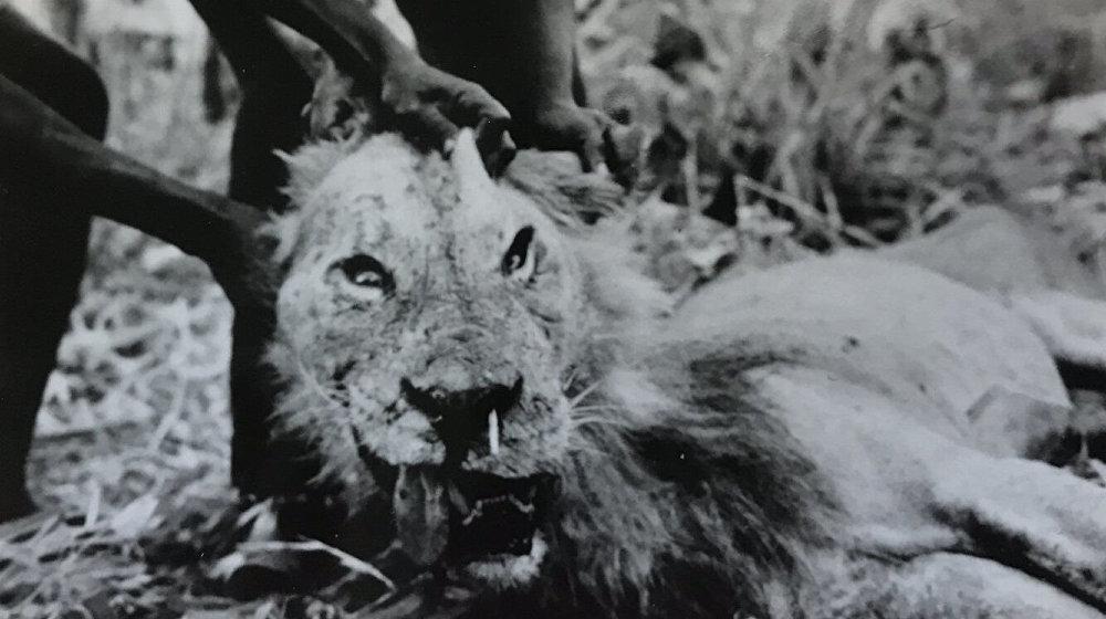 Leão-antropófago tem que caçar pessoas por causa dos espinhos
