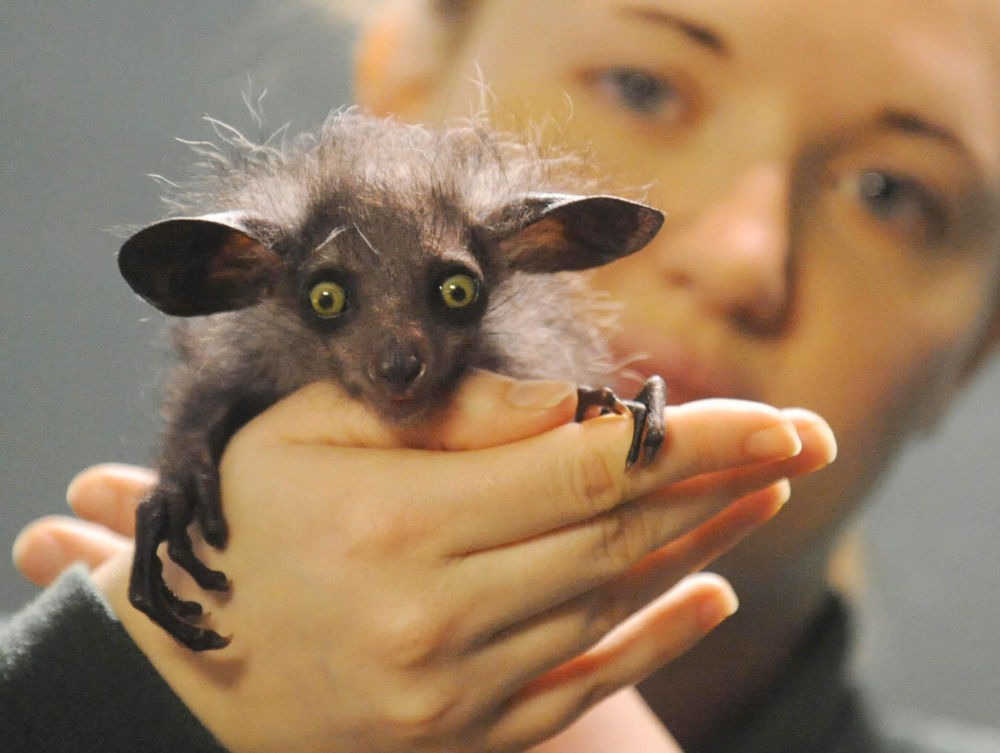 Aie-aie - é um primata endêmico de Madagascar. Essa espécie se distingue pelos dedos longos e finos. Está na Lista Vermelha da IUCN
