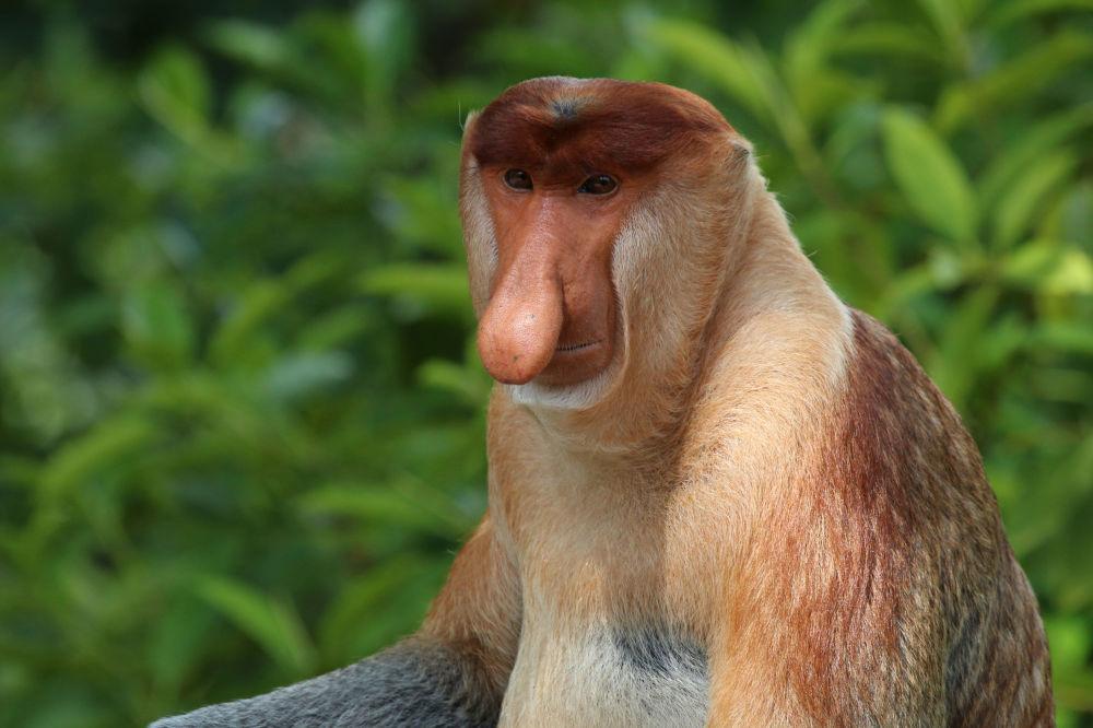 Macaco-narigudo é um animal endêmico das florestas tropicais de Bornéu, que ficam no oceano Índico