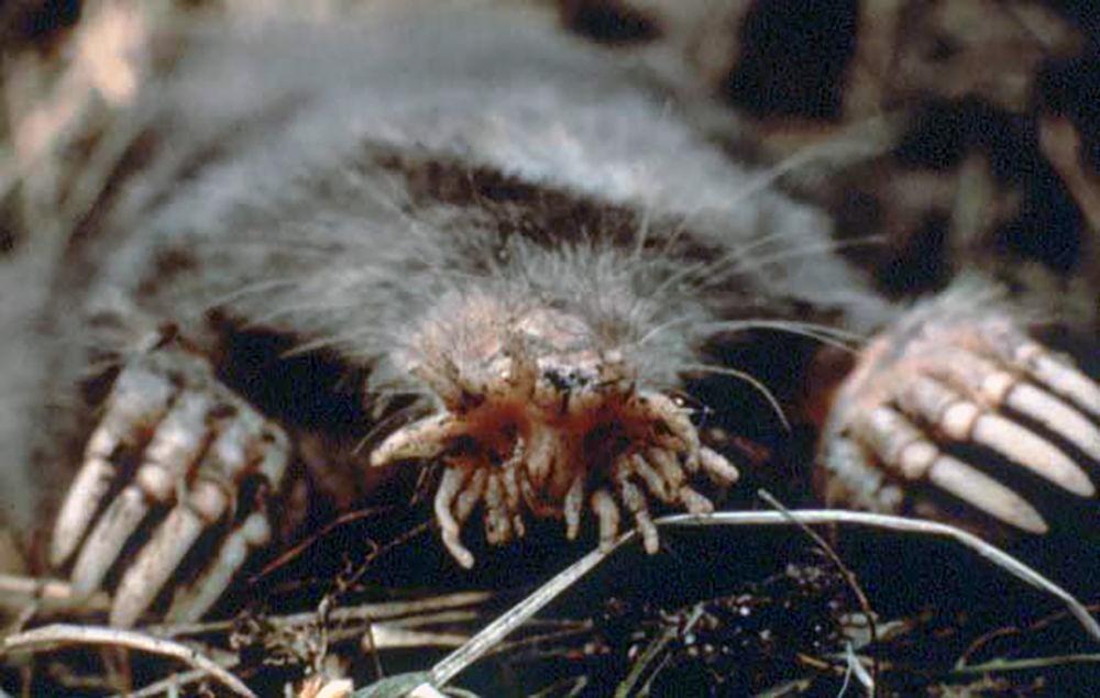 Toupeira-nariz-de-estrela é facilmente identificável pelos vinte e dois apêndices carnudos rosa do seu focinho, que é usado como um órgão táctil com receptores sensoriais