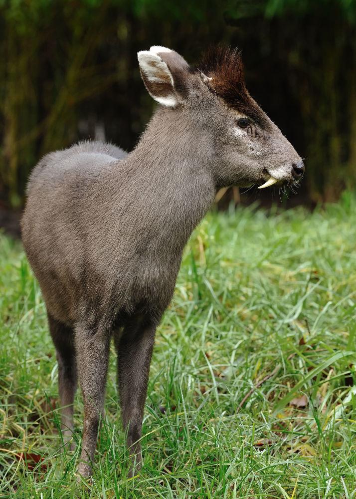Cervo-de-topete é uma pequena espécie caracterizada por um tufo de pelos pretos na testa e caninos proeminentes nos machos. Habita principalmente as regiões centrais da China e nordeste de Myanmar