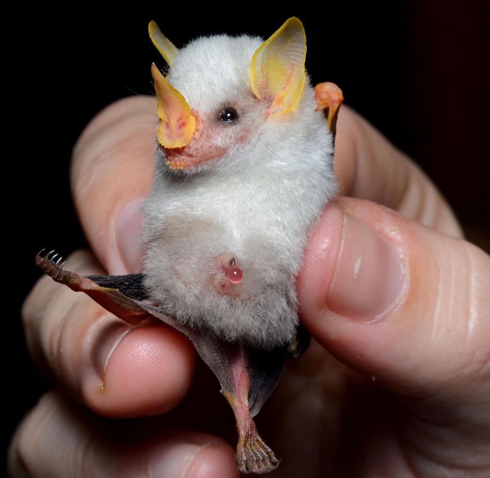 Morcego-branco-das-Honduras possui uma pelagem branca com focinho e orelhas amarelos e tem entre 3 cm e 5 cm de comprimento. Representantes desta espécie se alimentam parcialmente de frutas e habitam países da América Central