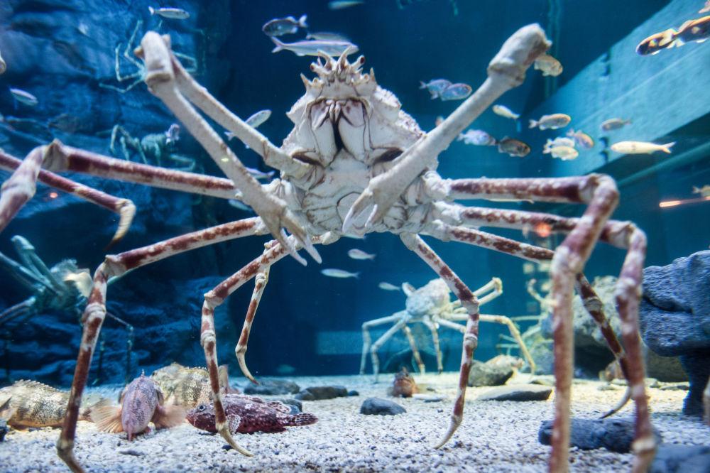 Caranguejo-gigante-japonês ou caranguejo-aranha-gigante é uma espécie de caranguejo que pode atingir uma envergadura, medida com as patas esticadas, de 3,8 metros e pesar 19 kg