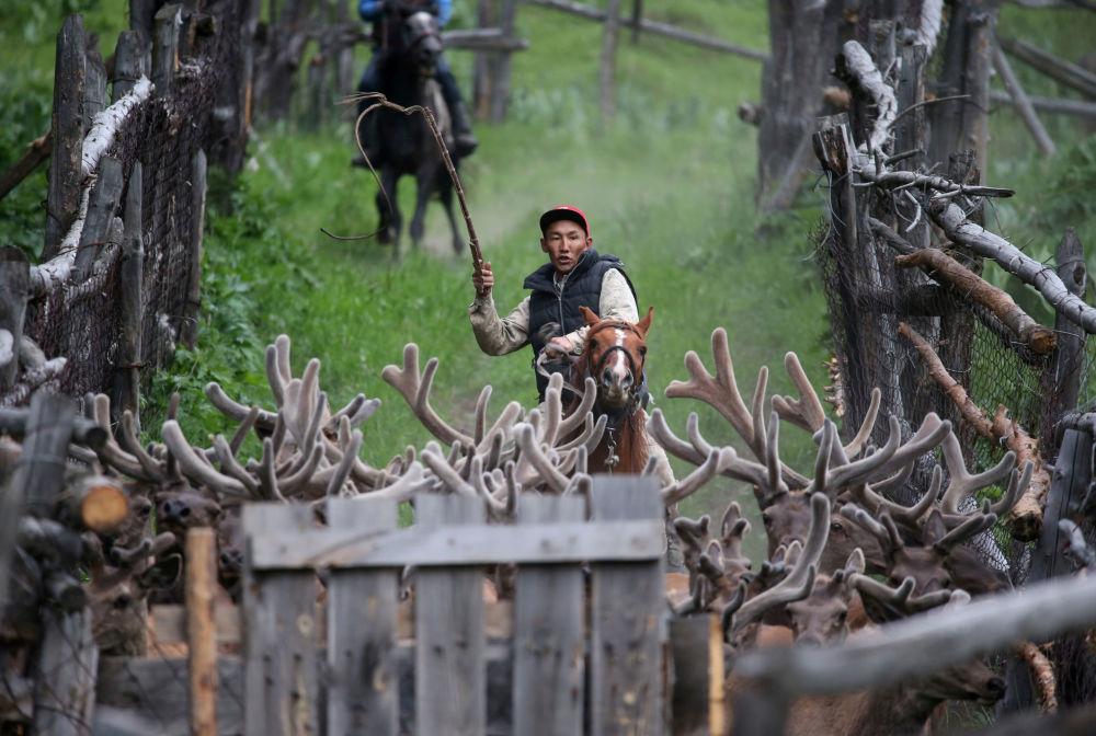 Criador conduz renas na fazenda Alatau Maraly na região de Almaty, Cazaquistão, 1 de junho de 2019