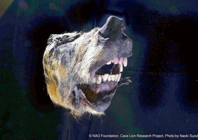 Cabeça de lobo siberiano de 40.000 anos