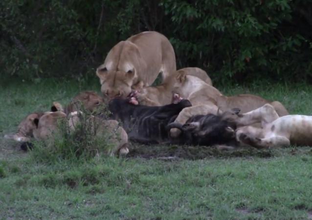 Leões devoram gnu enquanto filhote brinca com carcaça