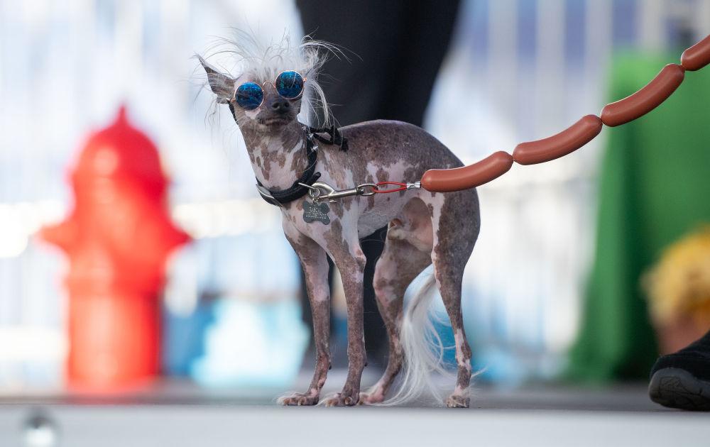 Cachorro Rascal Deux participa do concurso Cachorro Mais Feio do Mundo