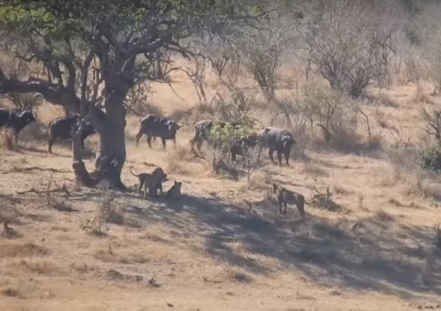 Búfalos enfrentam leões para salvar amigo em apuros
