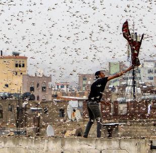 Homem tenta apanhar gafanhotos no Iêmen