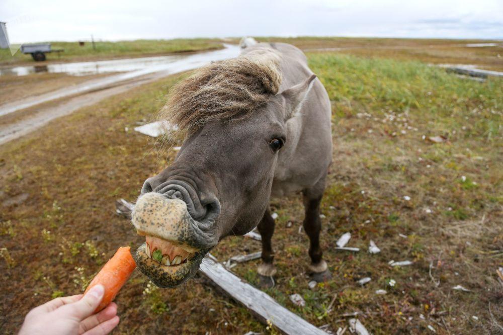 Cavalo selvagem perto de um vilarejo na região de Murmansk, noroeste da Rússia