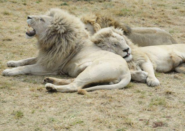 Leões (imagem ilustrativa)