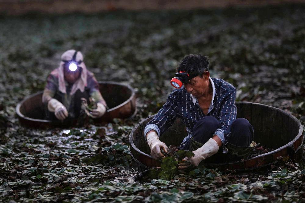 Camponeses colhem castanhas de água perto da cidade de Xiaogan, na província de Hubei, na China
