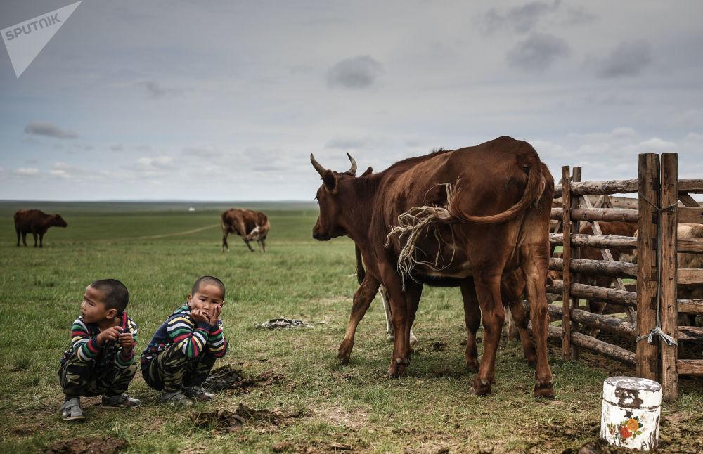 Crianças junto de vacas pastando na Mongólia