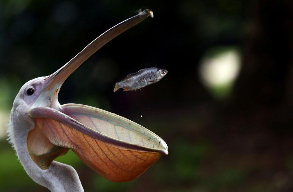 Pelicano apanha peixe no parque St. James', em Londres