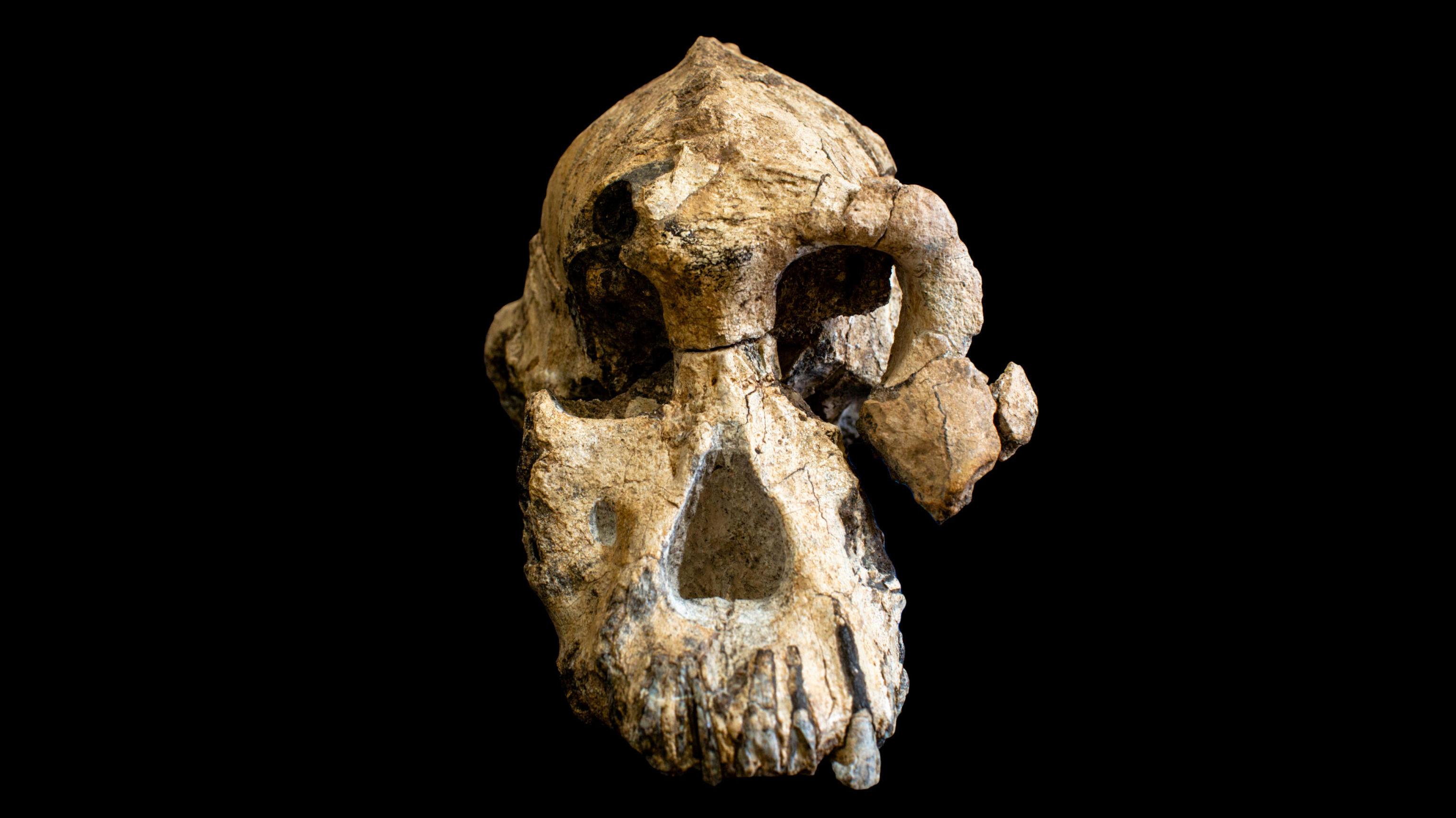 Crânio da espécie Australopithecus anamensis, um fóssil descoberto em 2016 na Etiópia