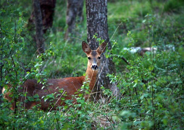 Cervo olha atenciosamente em uma floresta na Suécia