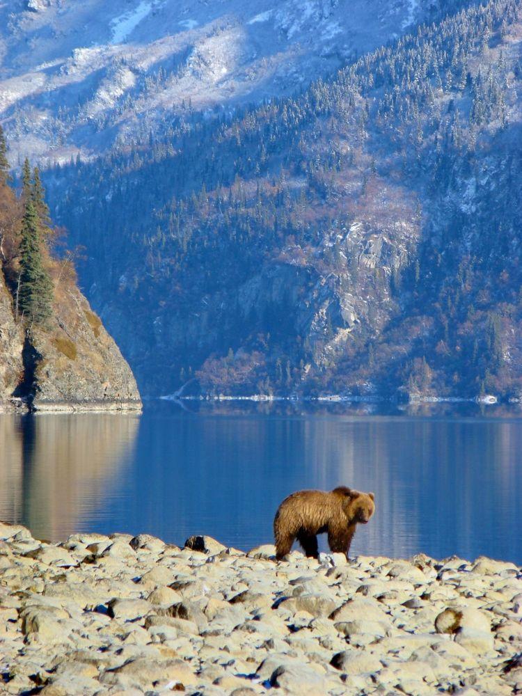 Urso-pardo caminhando perto de um lago nos EUA