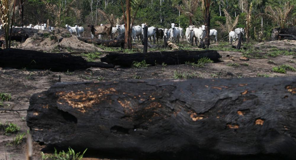Gado é visto perto de árvores queimadas na Floresta Nacional de Jamanxim na Amazônia, no estado do Pará, Brasil, 10 de setembro de 2019