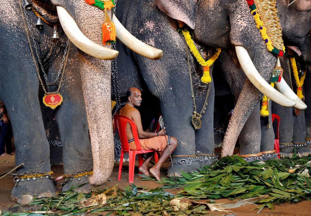 Homem entre elefantes na festa das colheitas Onam, na Índia