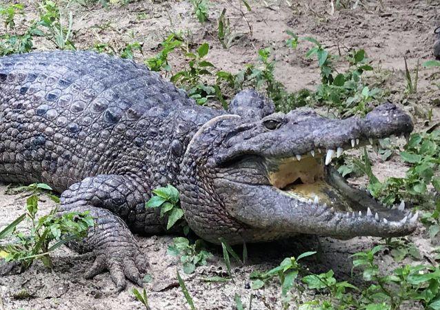 Um crocodilo representante da nova espécie Crocodylus halli