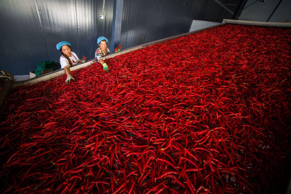 Operários selecionando malaguetas na província de Guizhou, China