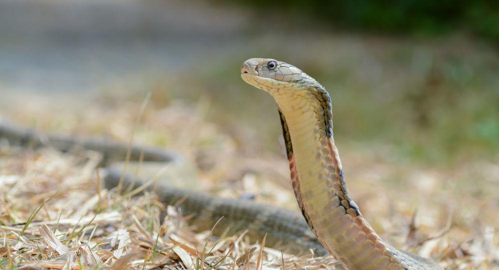 Chinês morre picado por cobra enquanto vendia remédio contra veneno de répteis