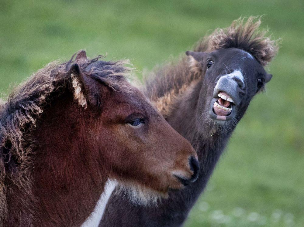 Dois potros de cavalo islandês brincam no rebanho, em Wehrheim, Alemanha