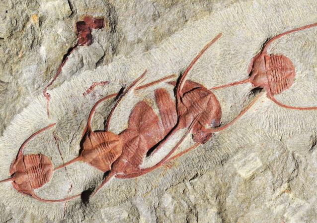 Fósseis de trilobitas de 480 milhões de anos descobertos no Marrocos