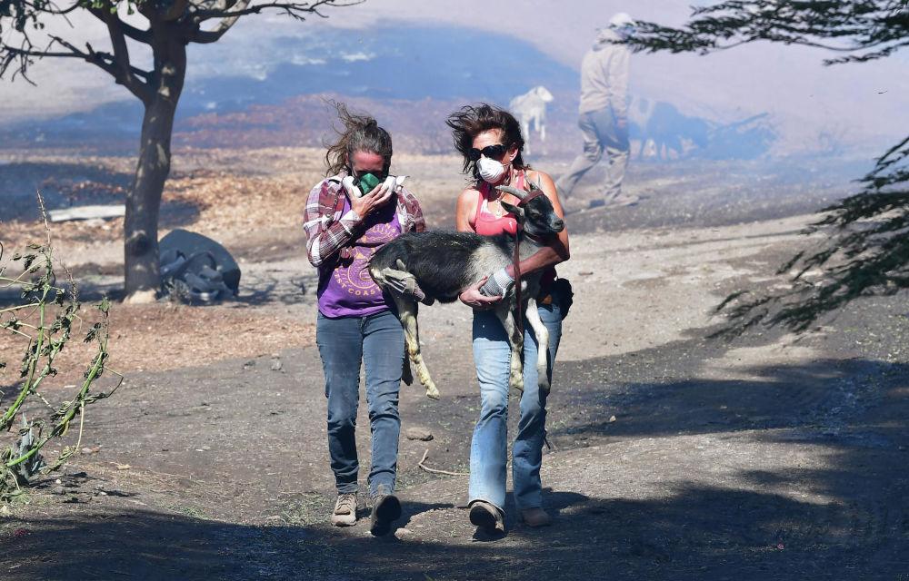 Duas mulheres ajudam a resgatar um bode durante um incêndio florestal no Vale Simi, perto de Los Angeles, Estados Unidos