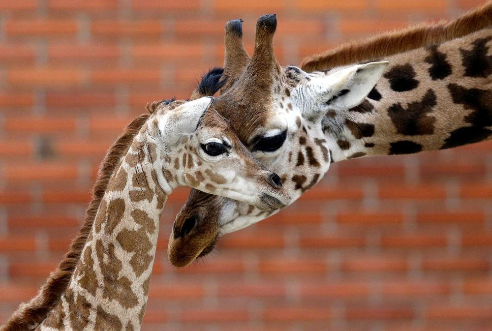 Girafa e seu filhote recém-nascido no zoológico de Liberec, na República Tcheca