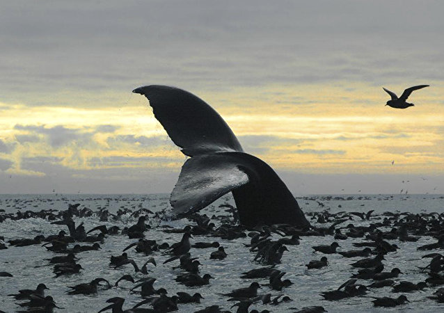 Cagarras no litoral do Alasca (foto de arquivo)