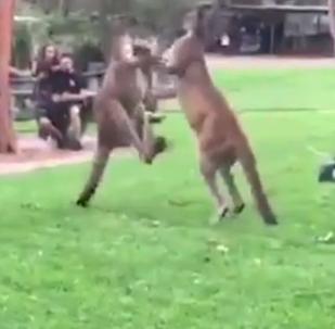Duelo de cangurus