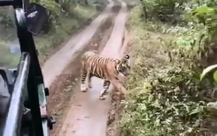 Tigre persegue carro