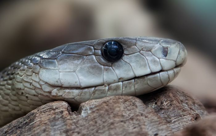 Outside the norm, a nearly 3 meter black mamba is rescued in South Africa ...
