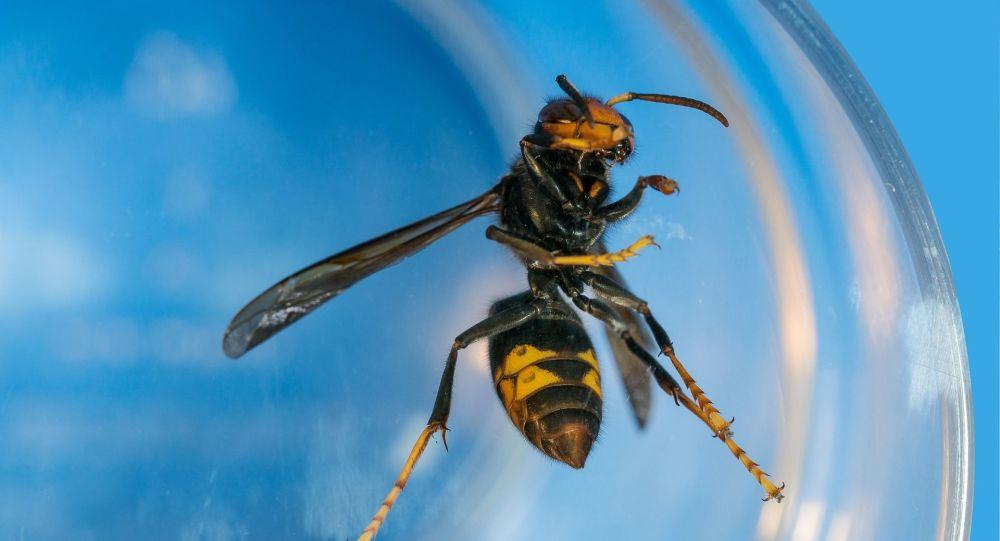 Primeira vespa assassina é capturada no estado de Washington, nos EUA (FOTO)