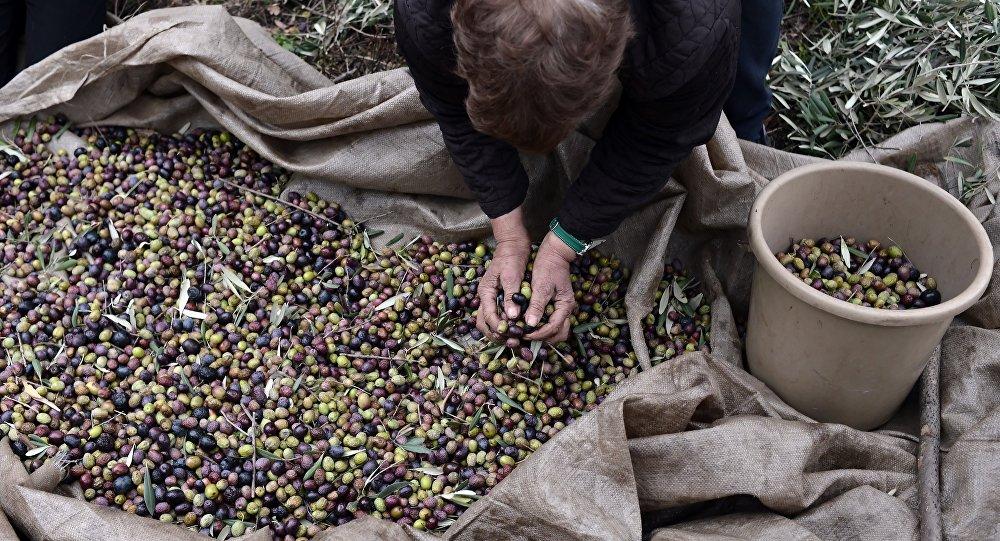 Colheita de olivas na Grécia. Foto de arquivo