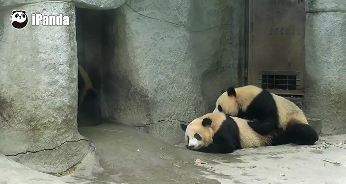 Pandas não precisam de almofadas