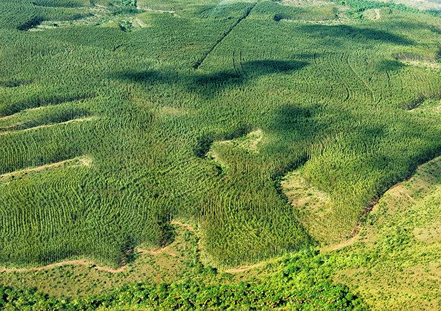 Área de plantação de eucalipto na Amazônia