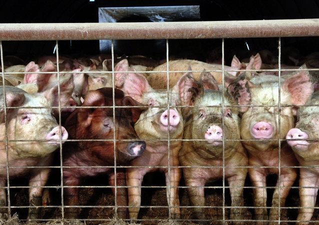 Porcas criadas na fazenda