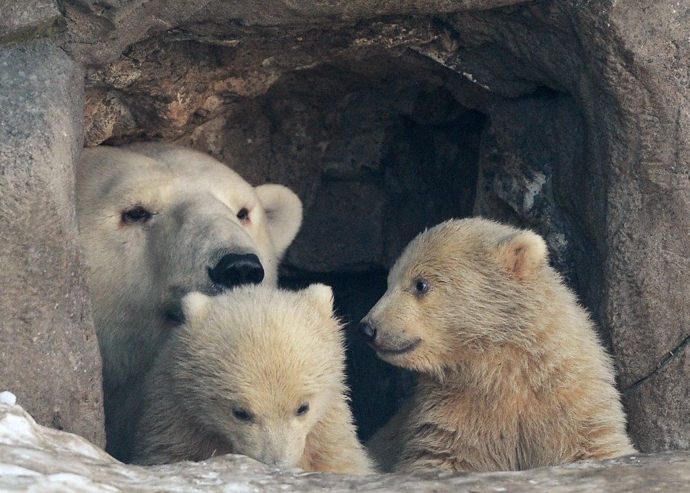 Ursos polares no Zoológico de Moscou: primeiros passos com a mãe