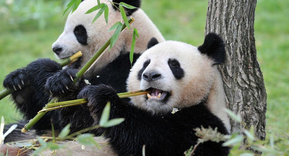 Pandas-gigantes
