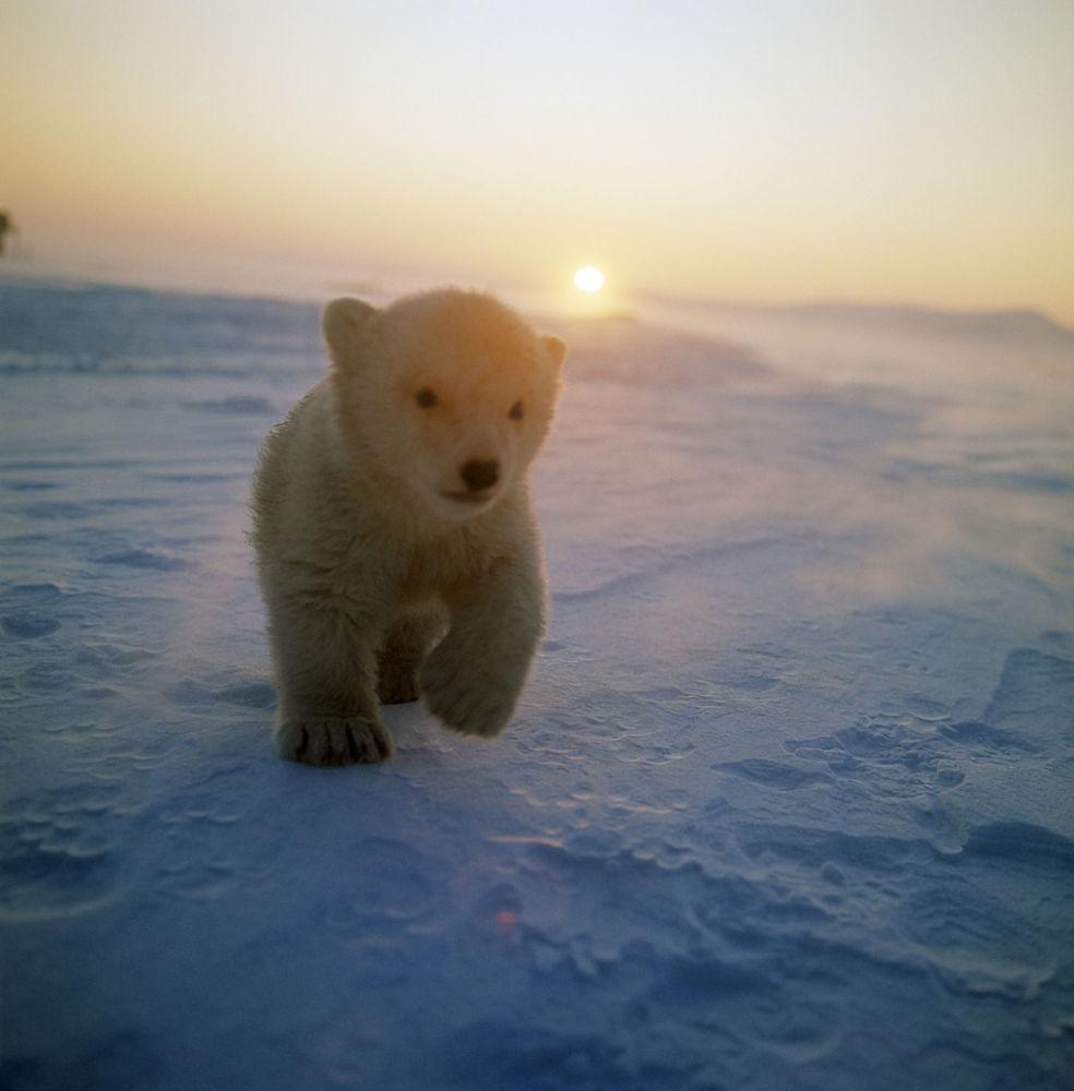 Um ursinho polar na ilha de Wrangel