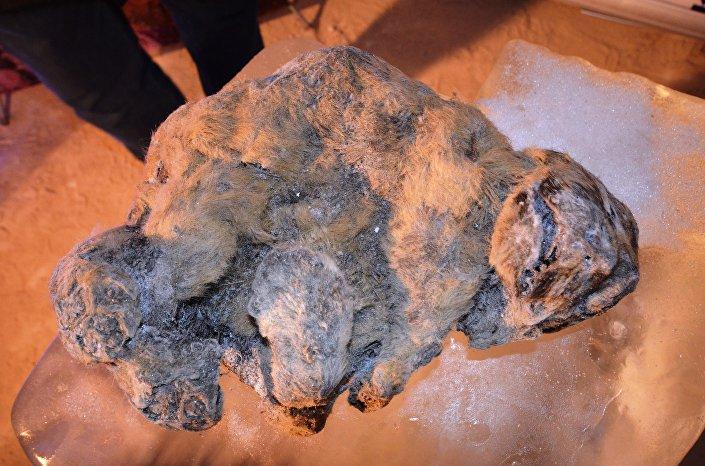 Filhotes congelados de leão-das-cavernas encontrados na Rússia