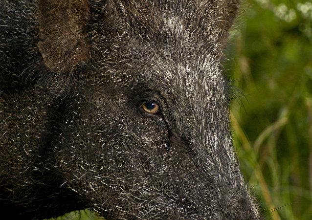 Embora o tamanho da população desses porcos selvagens em Fukushima permaneça desconhecido, entre 2014 e 2016, o número de javalis mortos por caçadores na região aumentou de três mil para 13 mil