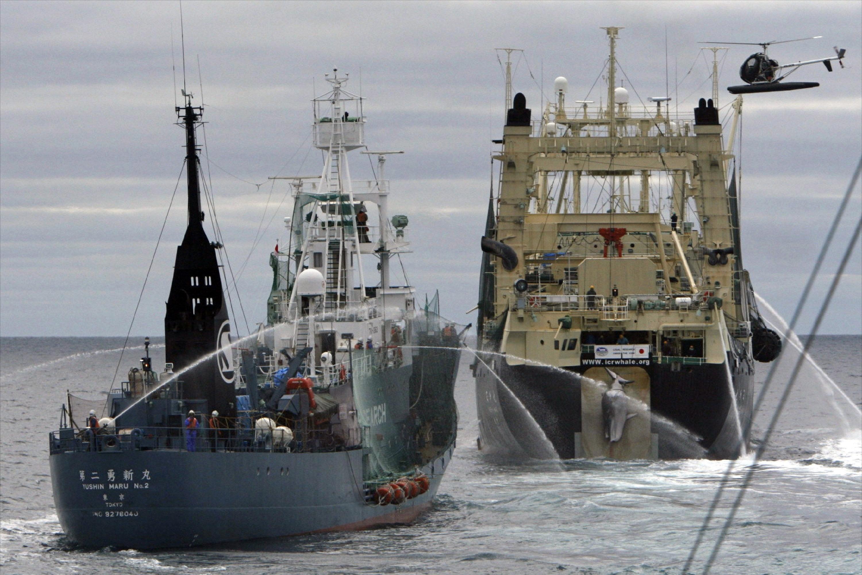 Baleeiros japonese com uma baleia-anã recem-capturada