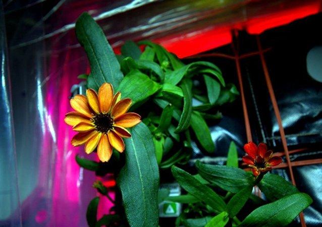 Flor de zinnia que está florescendo na Estação Espacial Internacional